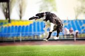 image of collie  - border collie dog catching the flying disc in jump - JPG