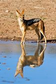 stock photo of jackal  - Jackal drinking water in desert with reflection - JPG