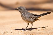 stock photo of babbler  - Chestnut - JPG
