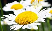 image of tuberose  - Incredibly beautiful daisy on a background of daisies - JPG