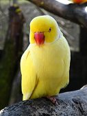 foto of parakeet  - Yellow parakeet standing on a branch at a petting zoo in Italy - JPG
