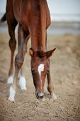 picture of foal  - Portrait of a brown foal - JPG