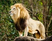 picture of female buffalo  - Male lion looking out atop rocky outcrop - JPG
