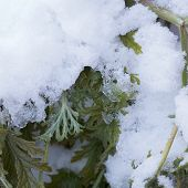 Fresh Snow Thawing On Green Wilted Plant Leaves