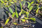 foto of nopal  - green cactus leave in detail growing on a field - JPG