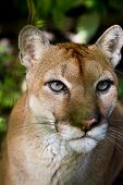pic of cougar  - close up of a large Cougar in the rain forest of Belize - JPG