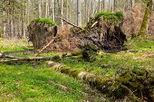 picture of alder-tree  - Springtime alder bog forest with standing water and stor broken spruce tree - JPG