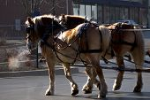 foto of blinders  - Team of two horses pulling on a cold winter morning - JPG