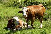 picture of cattle breeding  - Cows on the pasture in Upper Austria - JPG