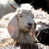 stock photo of cashmere goat  - White kashmir  - JPG