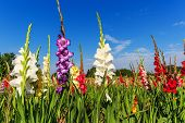 stock photo of gladiola  - Colorful gladiolus flowers in field and the blue sky