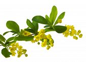 foto of barberry  - The blossoming branch of a barberry isolated on white background - JPG