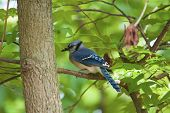 stock photo of blue jay  - blue jay in natural habitat in forest - JPG