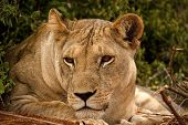 stock photo of lioness  - Lioness looking left resting head on paw - JPG