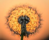 foto of blown-up  - blown dandelion flower against the setting sun - JPG