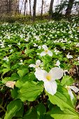 foto of trillium  - A sweeping vertical wide angle photograph with a close up of a White Trillium in the foreground amidst a bed of hundreds of trilliums - JPG