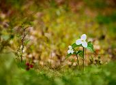 picture of trillium  - Selective focus on two White Trilliums with a blurred background and foreground - JPG