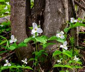 pic of trillium  - A small bed of white trilliums blooming at the base of a tree - JPG