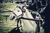 image of pony  - A pony hitched to a pony wheel waiting to start a pony ride - JPG