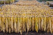 foto of tobacco barn  - Tobacco hanging to dry in the sun - JPG