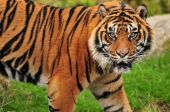 stock photo of tigress  - Adult sumatran male tiger looks towards the camera with vicious look on its face - JPG