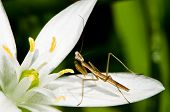picture of cannibalism  - A three day old Praying Mantis on a Star of Bethlehem flower.