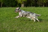 foto of english setter  - Cute blue belton English Setter dog is running fast cross on a spring flowering meadow - JPG