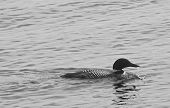 pic of loon  - This is a photo of one of Canada - JPG