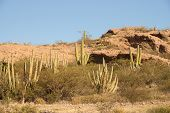stock photo of pipe organ  - Afternoon sun on Sonora Desert Organ - JPG