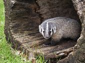 picture of nocturnal animal  - Young American badger cub - JPG