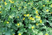 picture of celandine  - medical yellow celandine bloom in the meadow - JPG