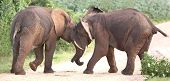 stock photo of domination  - Two male African elephants trying assert their dominance - JPG
