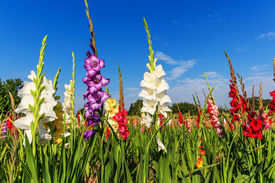 image of gladiola  - Colorful gladiolus flowers in field and the blue sky