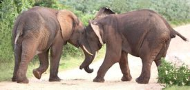 picture of male-domination  - Two male African elephants trying assert their dominance - JPG