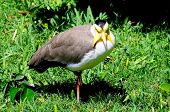 picture of mile  - Masked Lapwing  - JPG