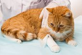 stock photo of cat-scan  - cat violation is treated by vet getting a bandage  - JPG