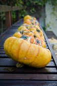 pic of darwin  - A row of pumpkins lined up on a bench in front of Charles Darwin - JPG