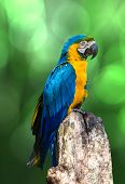 pic of parakeet  - Amazing Blue and Yellow  - JPG