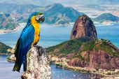 stock photo of flood  - Blue and Yellow Macaw in Rio de Janeiro - JPG