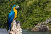stock photo of rainforest animal  - Blue and Yellow Macaw in Amazon - JPG