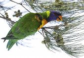 picture of lorikeets  - Australian rainbow lorikeets - JPG