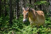 stock photo of breed horse  - Gotland pony grazing in the forest at Lojsta heath - JPG