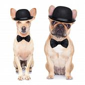 image of bowler  - comedic classic couple of dogs wearing bowler hats and black bow ties isolated on white background - JPG