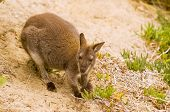 stock photo of wallabies  - Bennett