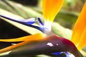 picture of bird paradise  - Bird of Paradise flower - JPG