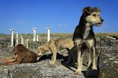 foto of macedonia  - Three homeless dogs in archaeological site Stobi R - JPG