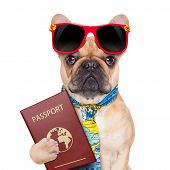 picture of citizenship  - fawn bulldog with passport immigrating or ready for a vacation isolated on white background - JPG