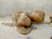 picture of garden snail  - Snails crawling on stone in the garden
