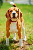 stock photo of foxhound  - Young Beautiful Brown And White Beagle Dog Puppy Standing On Lawn In Grass - JPG
