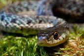 stock photo of garter  - A close up of an Eastern Garter Snake - JPG